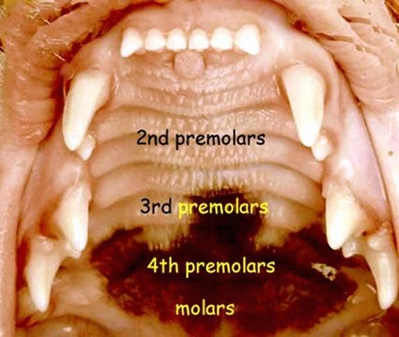 Canine Dental Chart Template Unique Cat Teeth Dental Chart Feline tooth Disease – Bluedasher