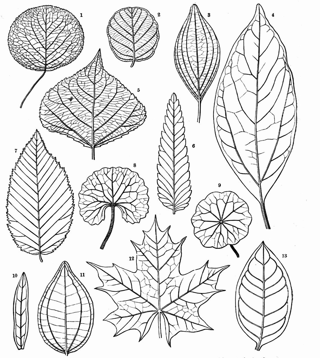 Leaf Template with Lines Lovely Botany Professor How the Grass Leaf Got Its Stripes
