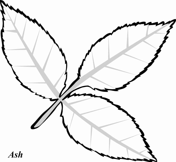 Leaf Template with Lines Luxury Leaf Line Drawing Clipart Best